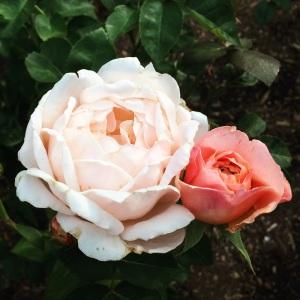 Rose 1 1000