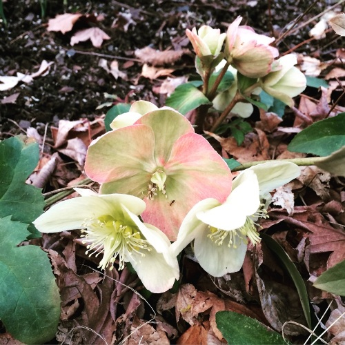 Hellebores in the Park